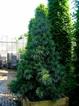 Semena borovice