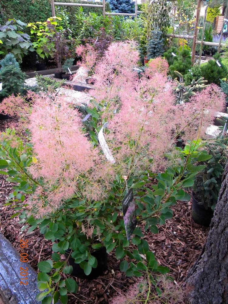 Cotinus coggygria YOUNG LADY 1