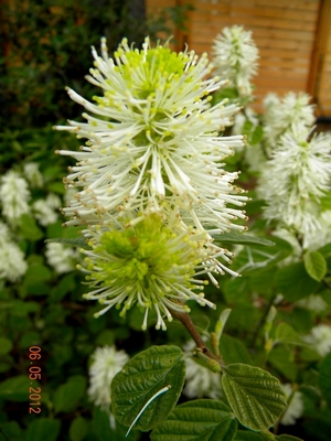 Fothergilla major 1
