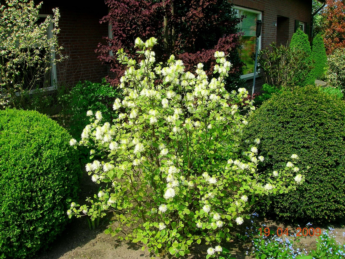 Fothergilla major 3