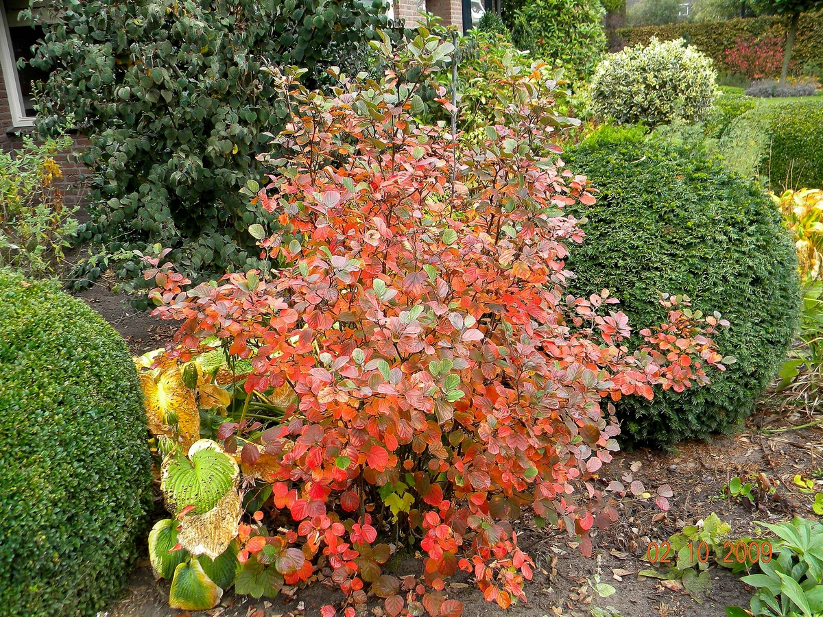 Fothergilla major 6