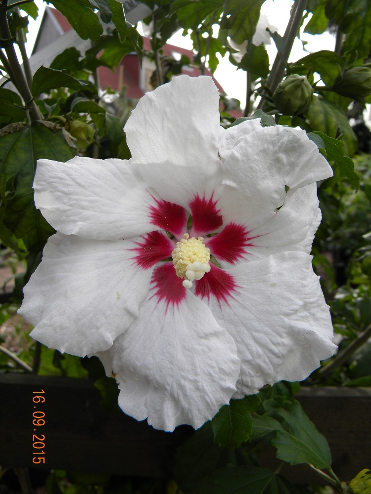 Hibiscus syriacus SUP HEART 1
