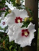 Hibiscus syriacus SUP HEART 2