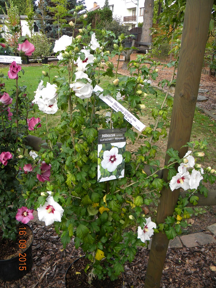Hibiscus syriacus SUP HEART 3