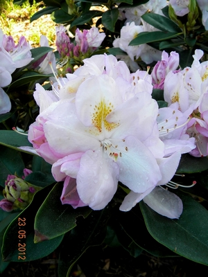 Rhododendron GOMER WATERER 1