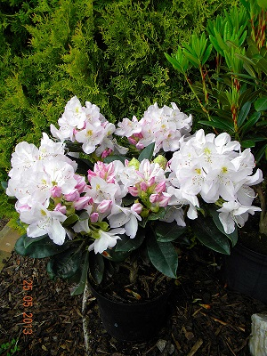 Rhododendron GOMER WATERER 2