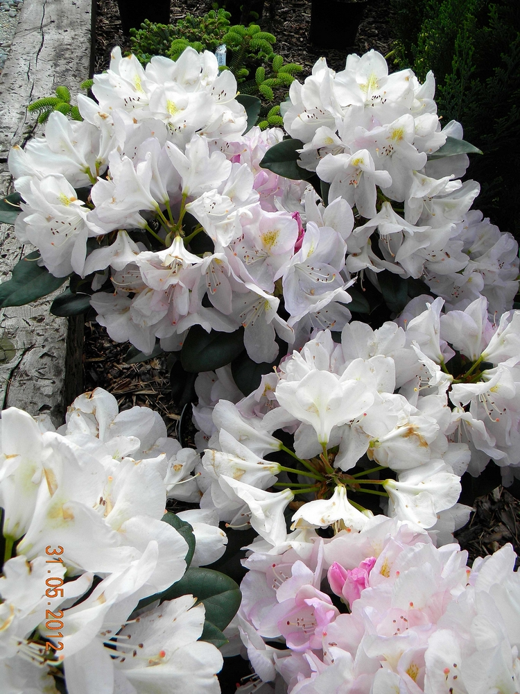 Rhododendron GOMER WATERER 3