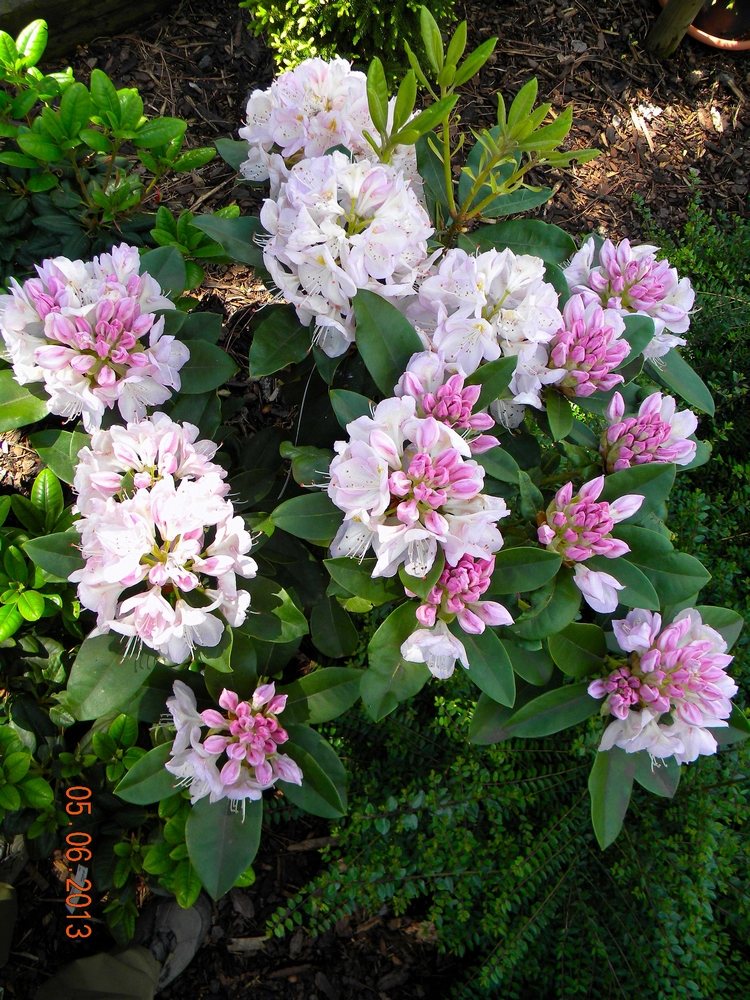 Rhododendron GOMER WATERER 4