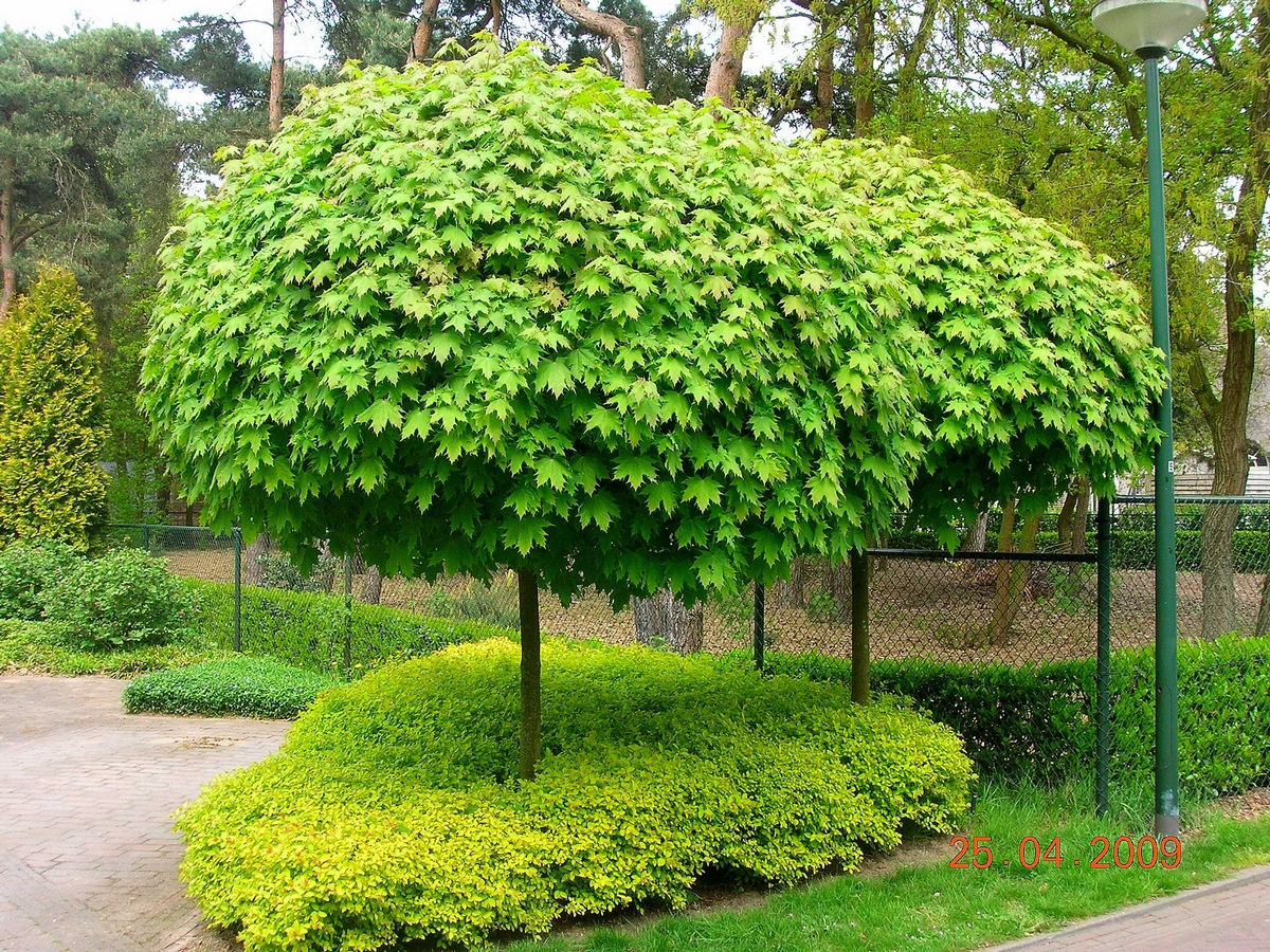 Acer platanoides 39 globosum 39 for Arboles de hoja perenne para jardin