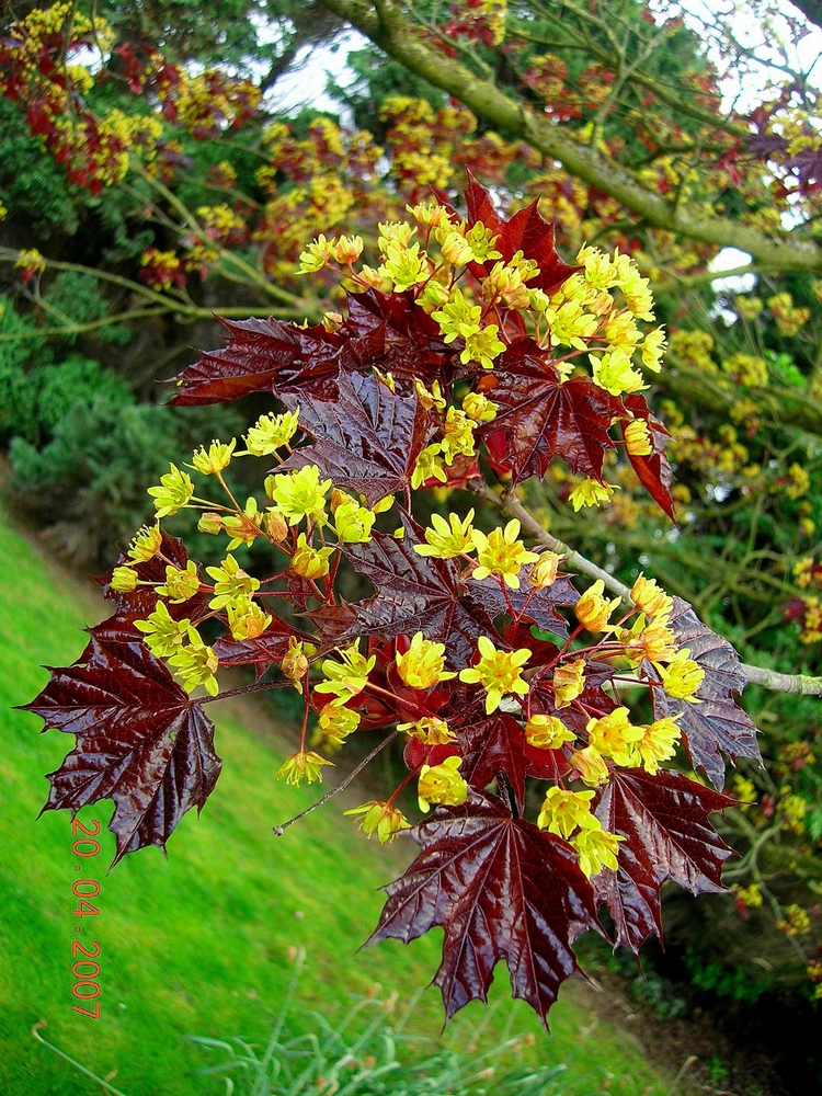 Acer platanoides ROYAL RED 1