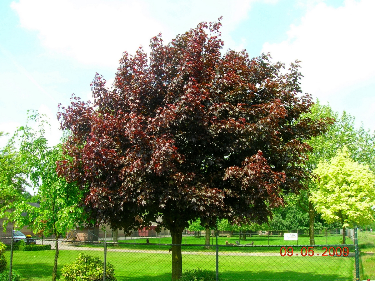Acer platanoides ROYAL RED 2
