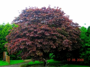 Acer platanoides ROYAL RED 4